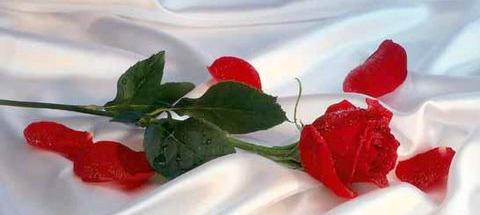 rosa-rossa-sul-tessuto-bianco